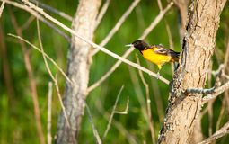 Baltimore Oriole in Central Kentucky. Male Baltimore Oriole bird in Central Kentucky stock photo