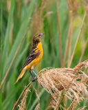 Oriole in Grasslands Royalty Free Stock Images