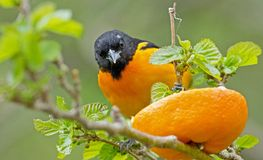 Baltimore Oriole. Is common in open deciduous woodlands or among scattered tall trees Stock Photography