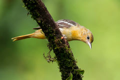 Baltimore Oriole. Curious Baltimore Oriole on a branch in Costa Rica Royalty Free Stock Photography