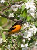 Baltimore Oriole e flores de Apple Foto de Stock Royalty Free