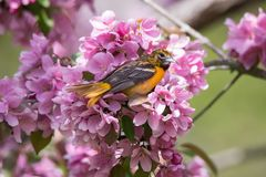 Baltimore Oriole Eating Bug in Roze Crabapple-Bloesems royalty-vrije stock foto's