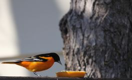 Baltimore Oriole eating an orange on the deck. Baltimore Oriole in south central Manitoba, not far from Portage La Prairie, Manitoba.  Bright orange and black stock images