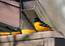 Baltimore Oriole eating an orange on the deck. Baltimore Oriole in south central Manitoba, not far from Portage La Prairie, Manitoba.  Bright orange and black royalty free stock images