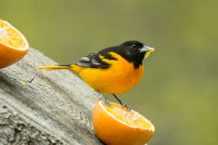 Baltimore Oriole. A Baltimore Oriole eating from an orange in the spring in Wisconsin Stock Photos