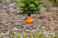 Baltimore Oriole With en apelsin Arkivfoto