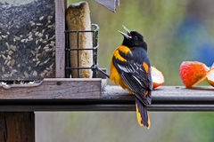 Baltimore Oriole Feeding Royalty Free Stock Photos