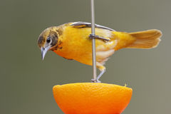 Baltimore Oriole feeding on an orange Royalty Free Stock Image