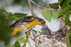 Baltimore Oriole feeding time. A  mother Baltimore Oriole feeding her babys in the nest Stock Photos