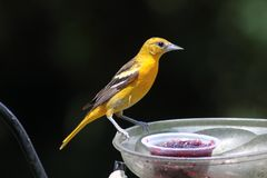 Baltimore Oriole female Stock Images