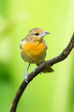 Baltimore Oriole Stock Photo