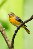 Baltimore Oriole. Female Baltimore Oriole portrait, Costa Rica Stock Photography