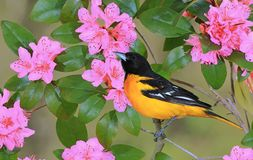 Baltimore oriole at Flowering Rhododendron royalty free stock photos