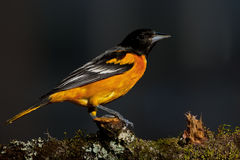 Baltimore Oriole (galbula d'Icterus) Photos libres de droits