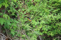 Baltimore Oriole (galbula do Icterus) Imagem de Stock