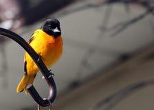 Baltimore Oriole i sydliga Manitoba arkivfoton