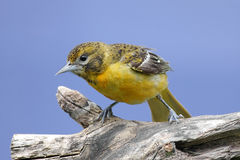 Baltimore Oriole (Icterus galbula) Stock Images