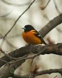 Baltimore oriole, icterus galbula. Baltimore oriole in tree in spring stock images