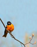 Baltimore oriole, icterus galbula. Baltimore oriole  with blue sky in spring Royalty Free Stock Photo