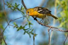 Baltimore Oriole - Icterus galbula. Female Baltimore collecting nesting material by peeling thin threads of bark from the branch. Ashbridges Bay Park, Toronto Stock Photos