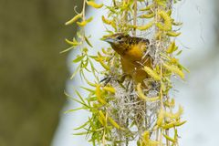 Baltimore Oriole - Icterus galbula. Female Baltimore Oriole preparing to leave her new nest in search of more construction materials. Ashbridges Bay Parh stock image