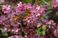 Baltimore Oriole - Icterus galbula. Female Baltimore Oriole perched in a blooming crabapple tree. High Park, Toronto, Ontario, Canada Stock Photo