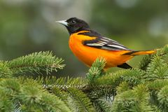 Baltimore Oriole - Icterus galbula. Male Baltimore Oriole perched on an evergreen branch. Ashbridges Bay Park, Toronto, Ontario, Canada royalty free stock photography