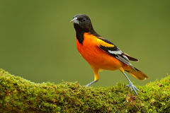 Baltimore Oriole, Icterus galbula, sitting on the green moss branch. Tropic bird in the nature habitat. Wildlife in Costa Rica. Or Stock Images