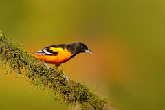 Baltimore Oriole, Icterus galbula, sitting on the orange and green moss branch. Tropic bird in the nature habitat. Widlife in Cost. A Rica Royalty Free Stock Photos