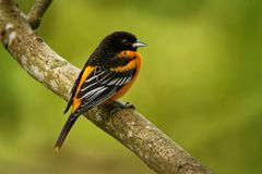 Baltimore Oriole - Icterus galbula small icterid blackbird common in eastern North America as a migratory breeding bird. Baltimore Oriole - Icterus galbula is a stock photo
