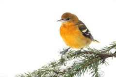 Baltimore Oriole (Icterus galbula) Royalty Free Stock Images
