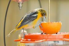 Baltimore Oriole juvenil no alimentador Foto de Stock