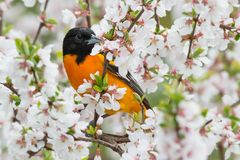 Baltimore Oriole - Icterus galbula. Male Baltimore Oriole perched in a cherry tree looking for bugs in the blossoms. Rosetta McClain Gardens, Toronto, Ontario Stock Images