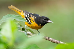 Baltimore Oriole. Male Baltimore Oriole in Costa Rica Royalty Free Stock Photo