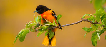 Baltimore Oriole. A male Baltimore Oriole displaying it`s brilliant mix of orange and yellow plumage Stock Image