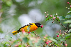 Baltimore oriole Royalty Free Stock Photos