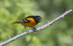 Baltimore Oriole male Stock Images