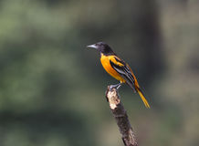 Baltimore Oriole, Male, Icterus galbula Royalty Free Stock Image