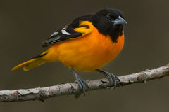 Baltimore Oriole. Male Baltimore Oriole perched on a branch Royalty Free Stock Photos