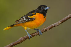 Baltimore Oriole. Male Baltimore Oriole perched on a branch Royalty Free Stock Image