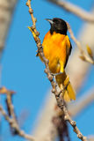 Baltimore Oriole. Male Baltimore Oriole perched on a branch Royalty Free Stock Photography