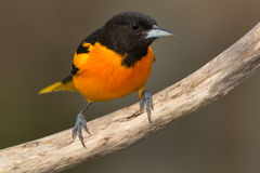 Baltimore Oriole royalty free stock photography