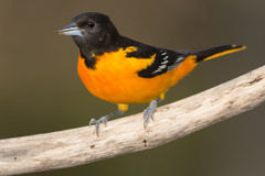 Baltimore Oriole. Male Baltimore Oriole perched on a dead branch Stock Photos