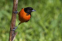 Baltimore oriole Royalty Free Stock Photo