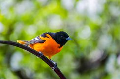 Baltimore Oriole - Midwest Bird. Baltimore Oriole enjoying a beautiful Spring evening in the Midwest, USA stock images