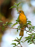 Baltimore Oriole in magic hour with morning mist.  Royalty Free Stock Photography