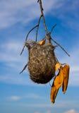 Baltimore Oriole-nest Royalty-vrije Stock Afbeeldingen