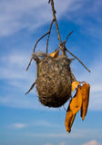 Baltimore Oriole nest. Against a blue sky Royalty Free Stock Images