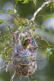 Baltimore Oriole nestling. Making its demands known Stock Photography