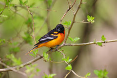 Baltimore Oriole perched Royalty Free Stock Photography